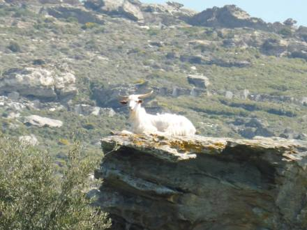 andros_goat