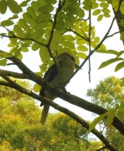 kookaburraintree_pearlbeach