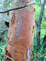 redgumtrunk_arboretum_pearlbeach