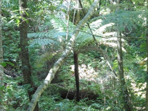 rainforestwalk_ferntree_best