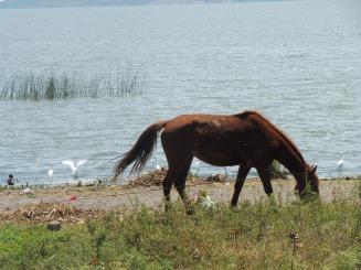 horse&birdsonlake_ajijic_mar14