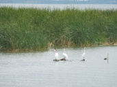pelicans&egret_chapala_mar11