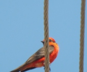 A Vermilion Flycatcher outside our kitchen window.