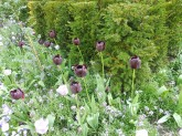 regentspark_blacktulips_london_apr23