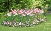 regentspark_pink&whitetulips_london_apr23