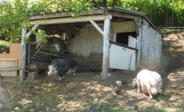 pigs&piglets_fonyod_hungary_may6