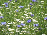 cornflowers&daisies_marchfeld_may22