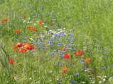 poppies&cornflowers3_marchfeld_may22