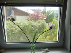 iris_bratislava_may17