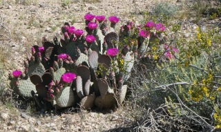 cactusflowers&yellow_nevadadesert_apr22_2019